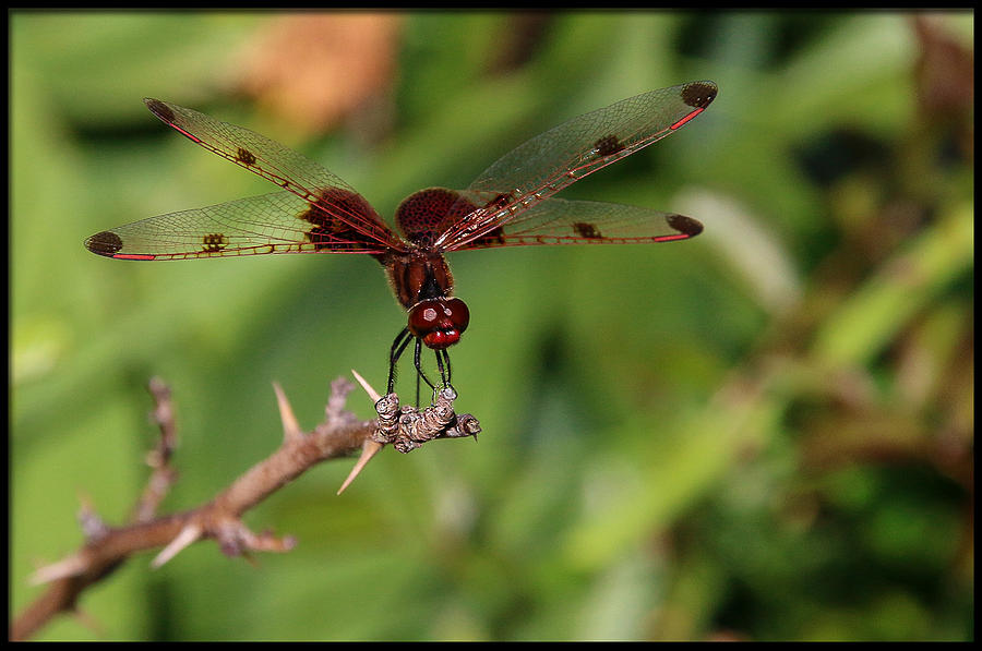 Dragonfly Photograph - Perched Ready by Christine Nunes