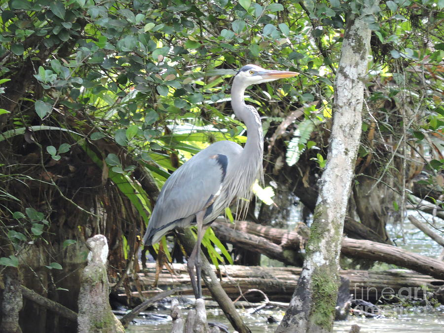 Blue Heron Photograph - Perching Blue Heron by Marilee Noland