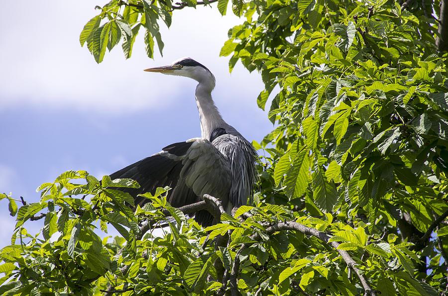 Heron Photograph - Perching Heron by Ross G Strachan
