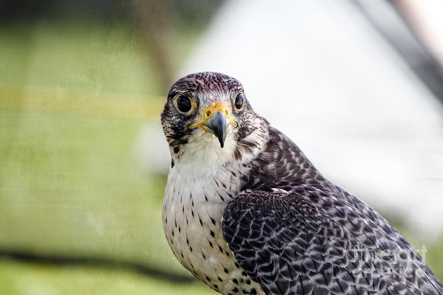 Peregrine Falcon Photograph - Peregrine Falcon Bird Of Prey by Eleanor Abramson