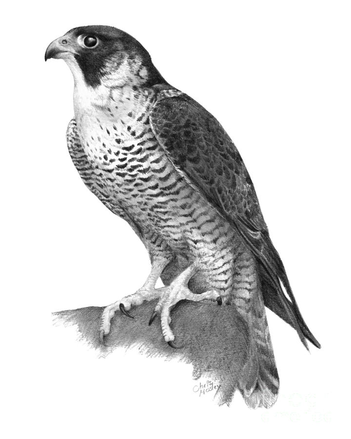 Peregrine Falcon Drawing By Chris Mosley