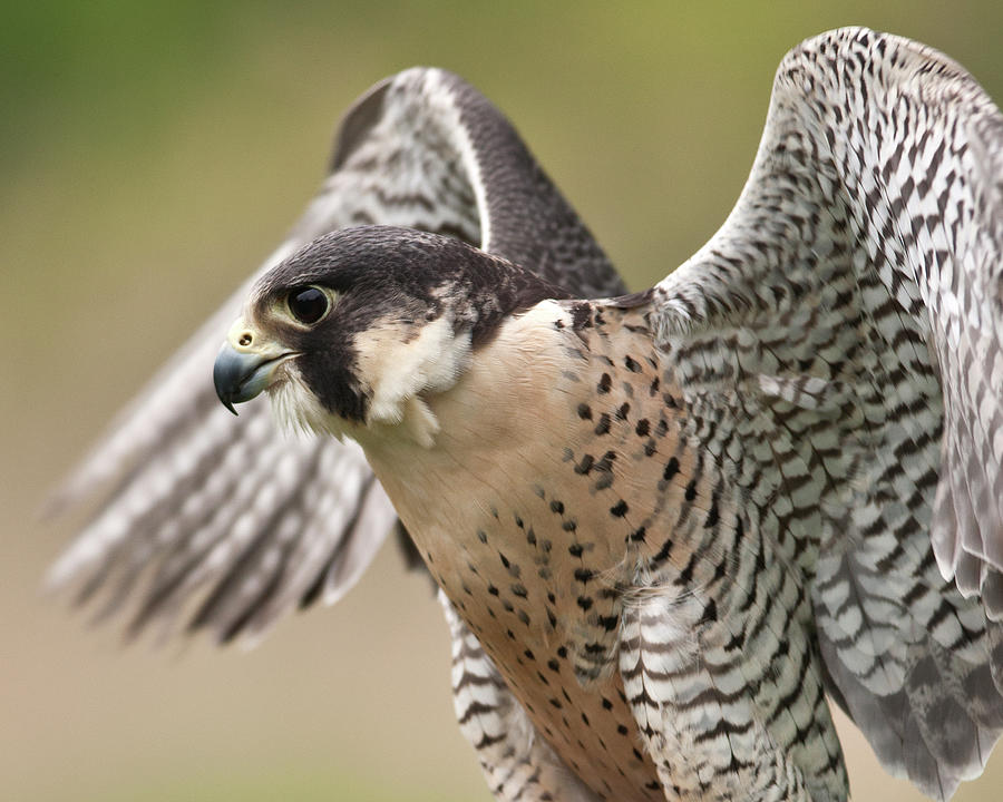 Peregrine Falcon Photograph by Jody Trappe Photography