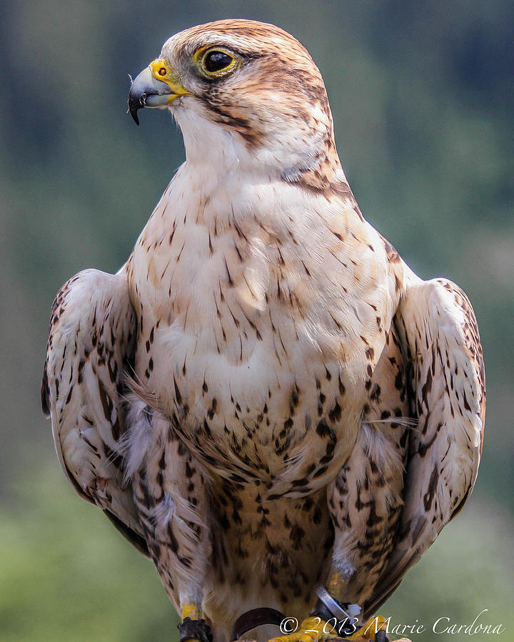 Peregrine Falcon Photograph by Marie  Cardona
