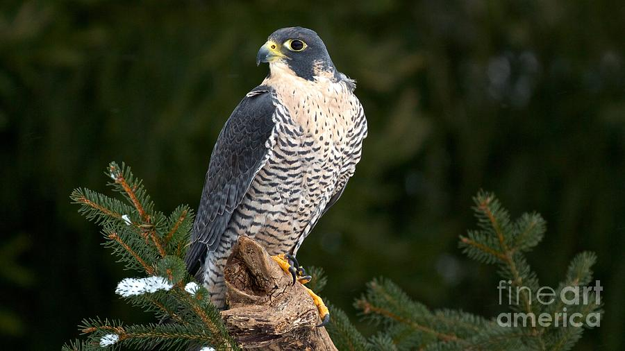 Bird Photograph - Peregrine Falcon by Mike Mulick