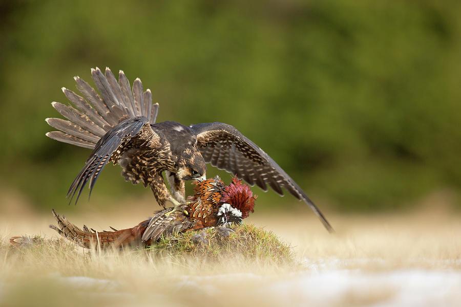 Animals Photograph - Peregrine Falcon by Milan Zygmunt