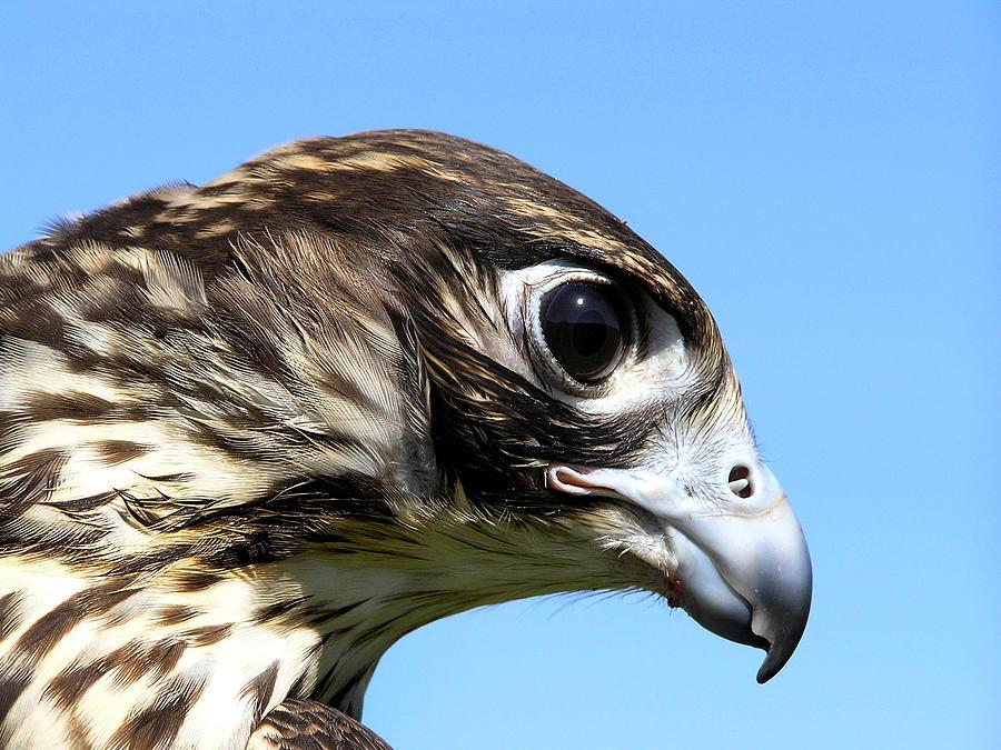 Peregrine Falcon Photograph - Peregrine Falcon Tashunka by Christina Rollo