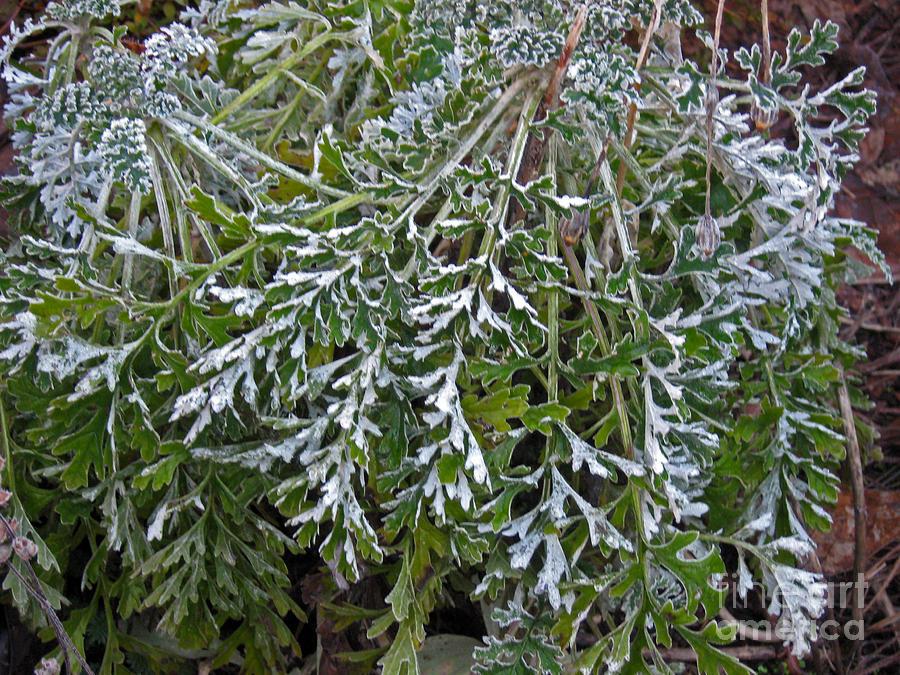 Frost Photograph - Perennial With Frost by Ellen Miffitt