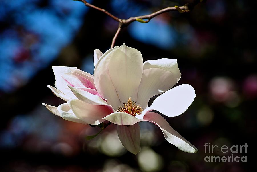 Perfect Bloom Magnolia by Frank J Casella