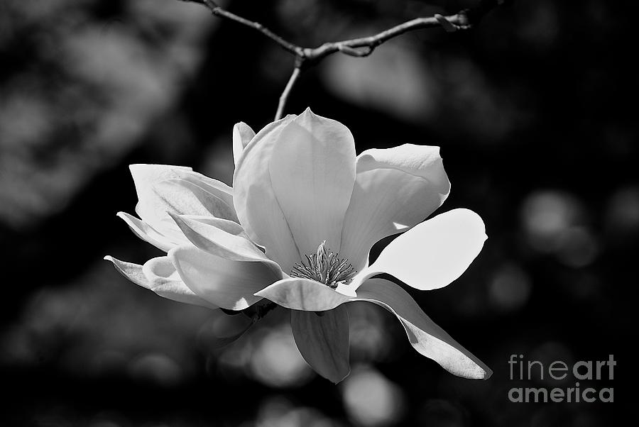Black And White Photograph - Perfect Bloom Magnolia In White by Frank J Casella
