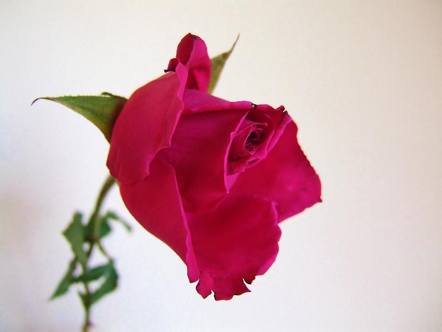Rose Photograph - Perfect Rose by Hayley Mattila