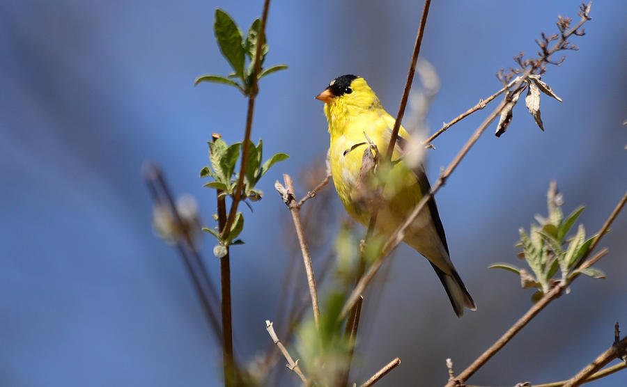 Goldfinch Photograph - Perfect Shade Of Yellow by Lori Tambakis