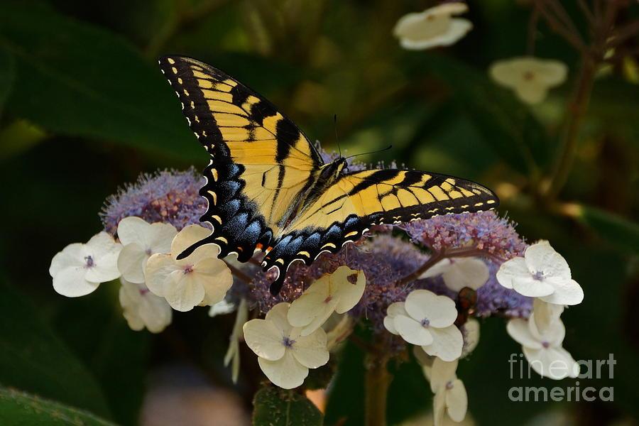 Perfect Female Eastern Tiger Swallowtail Butterfly Photograph - Perfect Tiger Swallowtail Butterfly by Byron Varvarigos