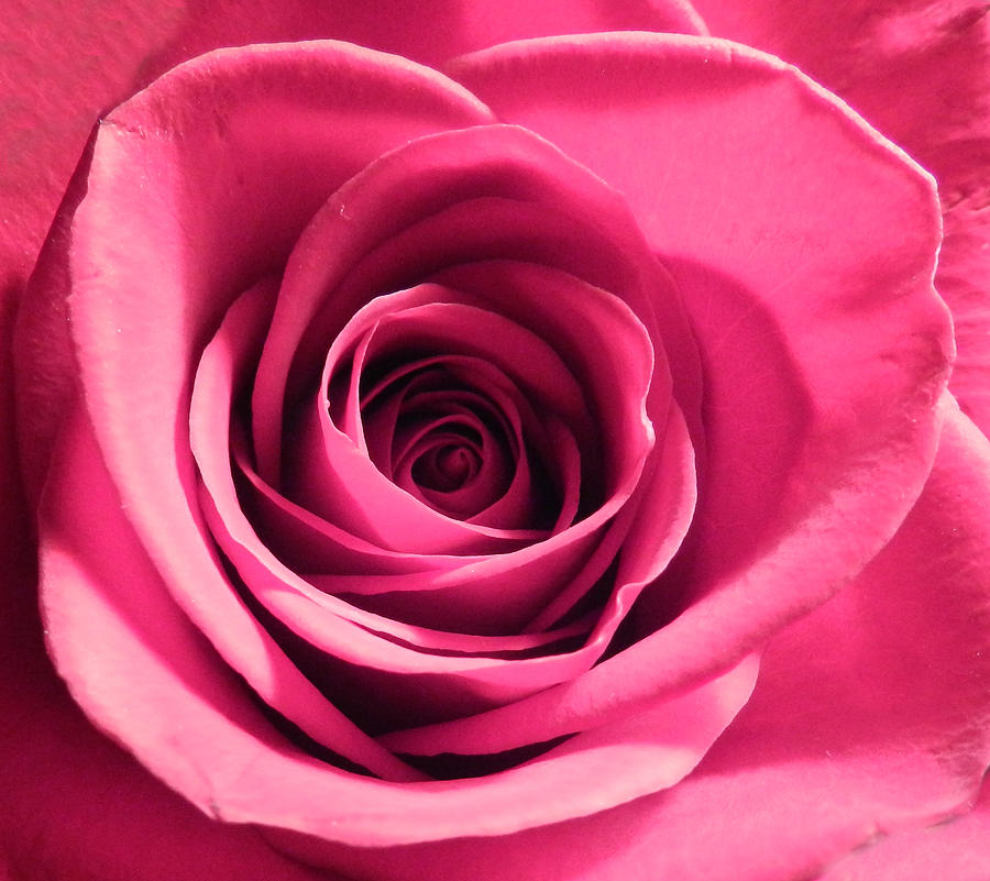 Beautiful Photograph - Perfection in Pink by Grace Dillon