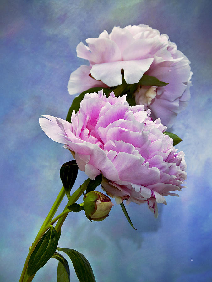Peony Photograph - Perfume And Powdery Pastels by Theresa Tahara