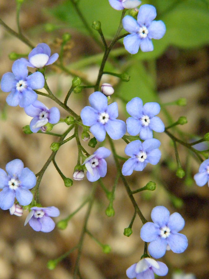 Flowers Photograph - Periwinkle by Marijo Fasano