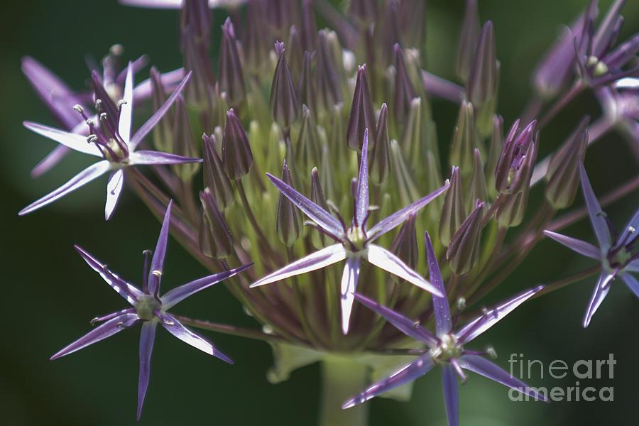 Allium Photograph - Persian Allium by Lauren Brice