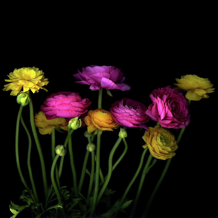 Persian Buttercups Ranunculus Asiaticus Photograph by Photograph By Magda Indigo