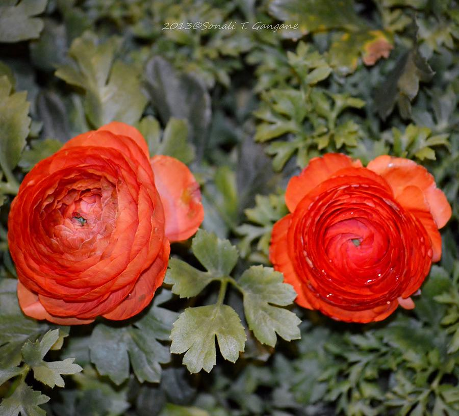 Ranunculus Photograph - Persian Buttercups by Sonali Gangane