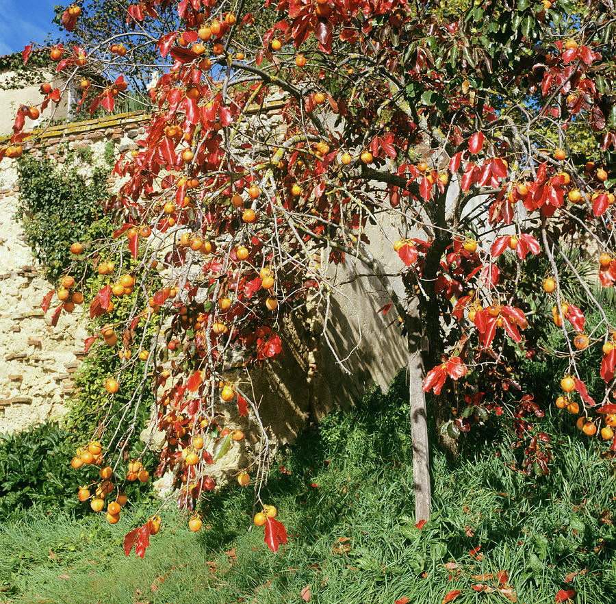 Persimmon Photograph - Persimmon Tree With Fruit by Mark De Fraeye/science Photo Library
