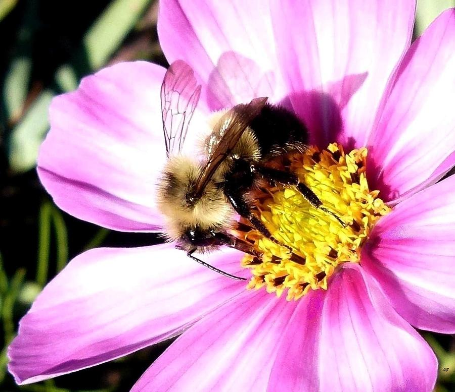 Bumblebee Photograph - Persistence Into October by Will Borden