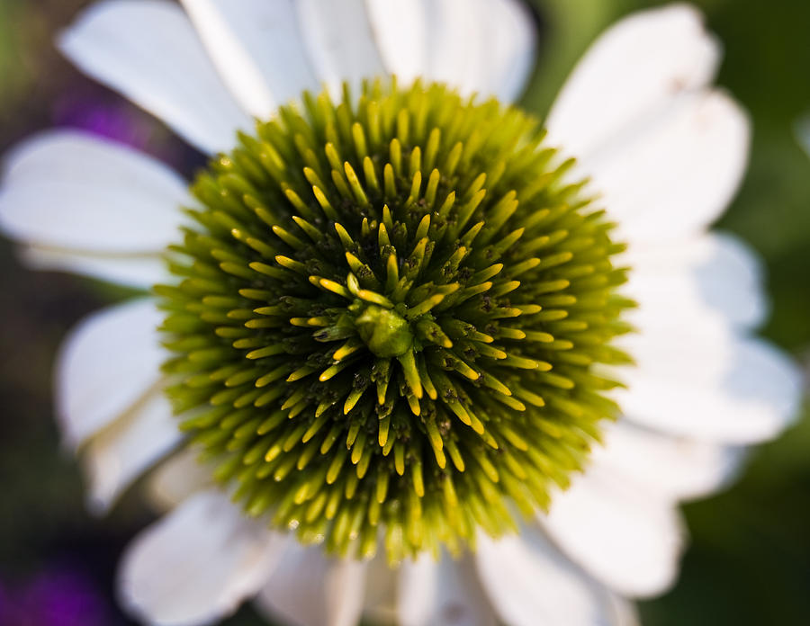 Flower Photograph - Perspectives by Cara Moulds