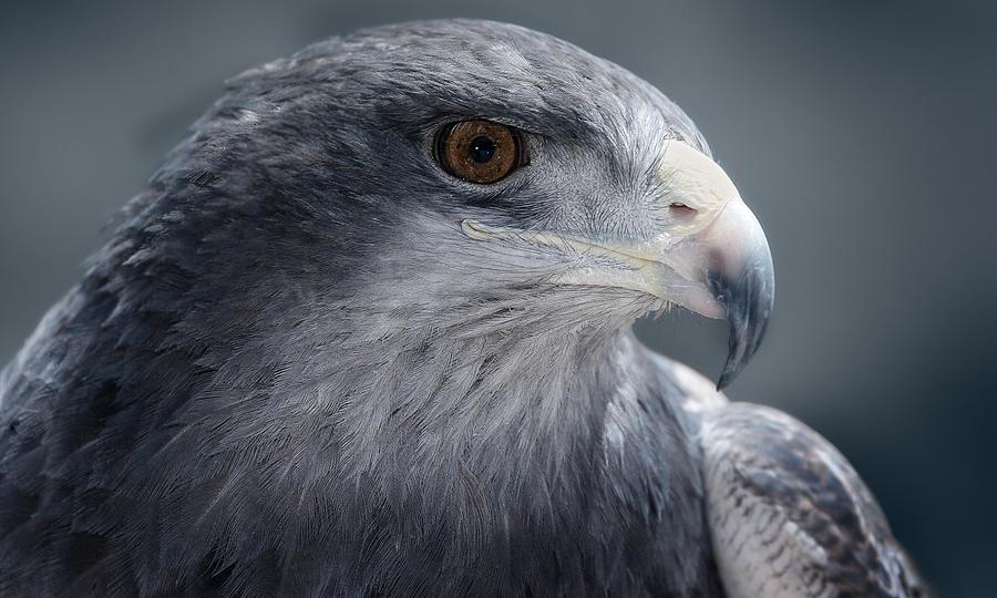 Eagle Photograph - Peruvian Eagle by Walter Iglesias