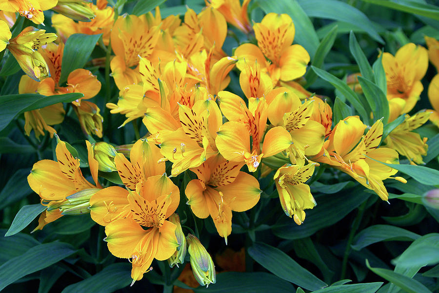 Peruvian Lily Alstroemeria Aurantiaca Photograph By Neil Joy Science Photo Library