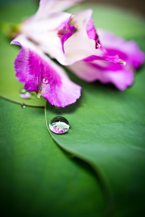 Floral Photograph - Peruvian Lily Raindrop by Priya Ghose
