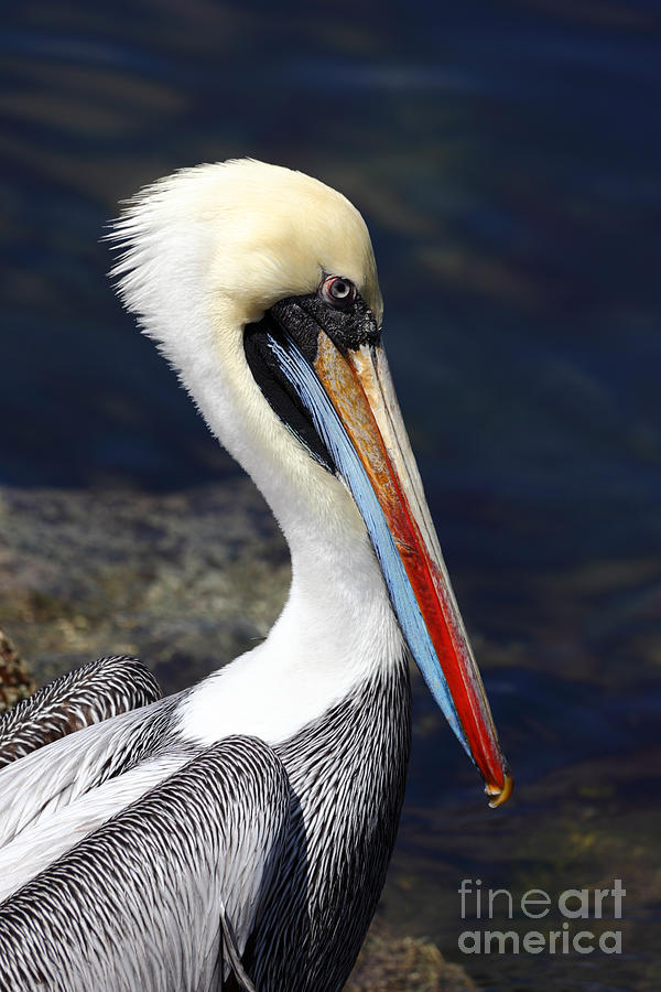 Pelican Photograph - Peruvian Pelican Portrait by James Brunker