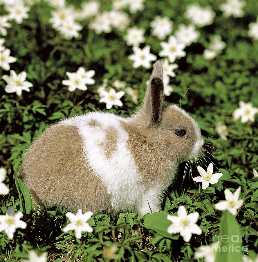 Rabbit Photograph - Pet Rabbit by Hans Reinhard/Okapia