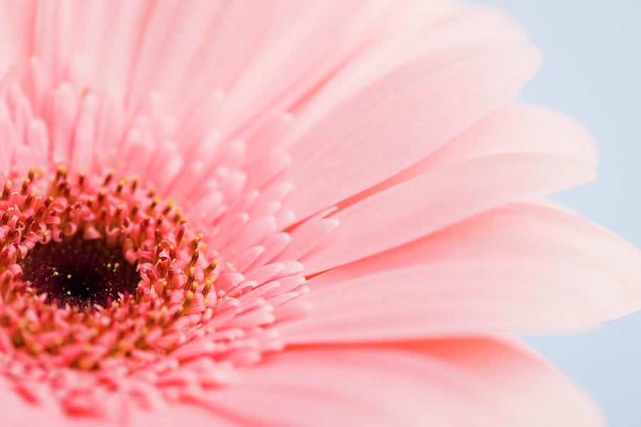 Petals And Head Of Pink Daisy Photograph by Vstock