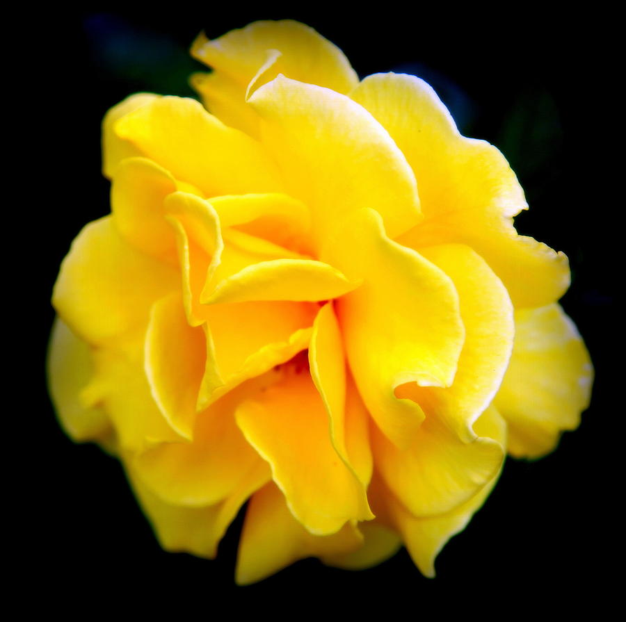 Yellow Roses Photograph - Petals And Lace by Karen Wiles