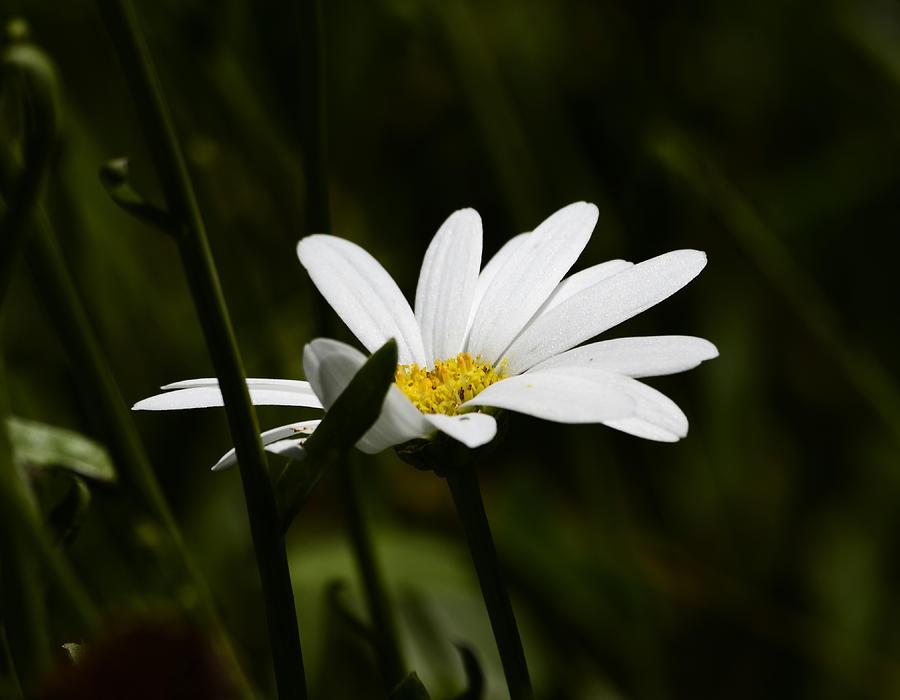 Daisy Photograph - Petals Of White by Lori Tambakis