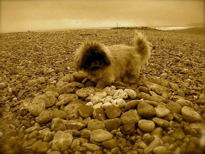 Pekingese Photograph - Pete With His Pebble Collection by Samantha Wakefield