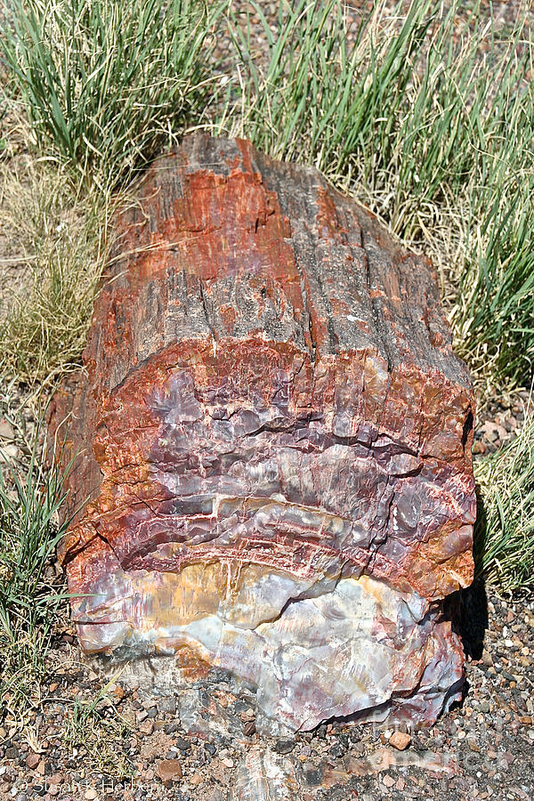 Desert Photograph - Petrified Stump by Susan Herber