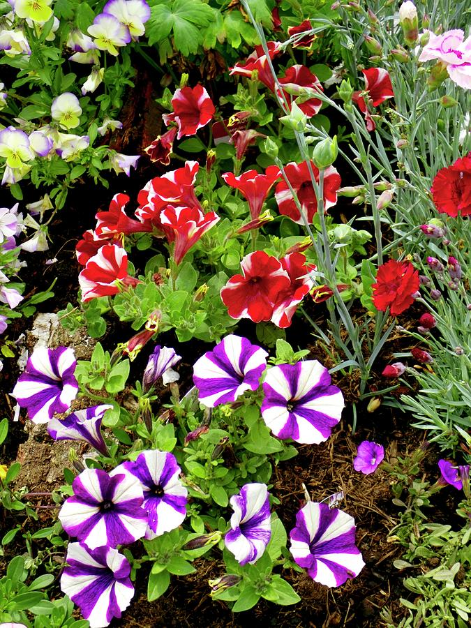 Flower Photograph - Petunia Flowers by Ian Gowland