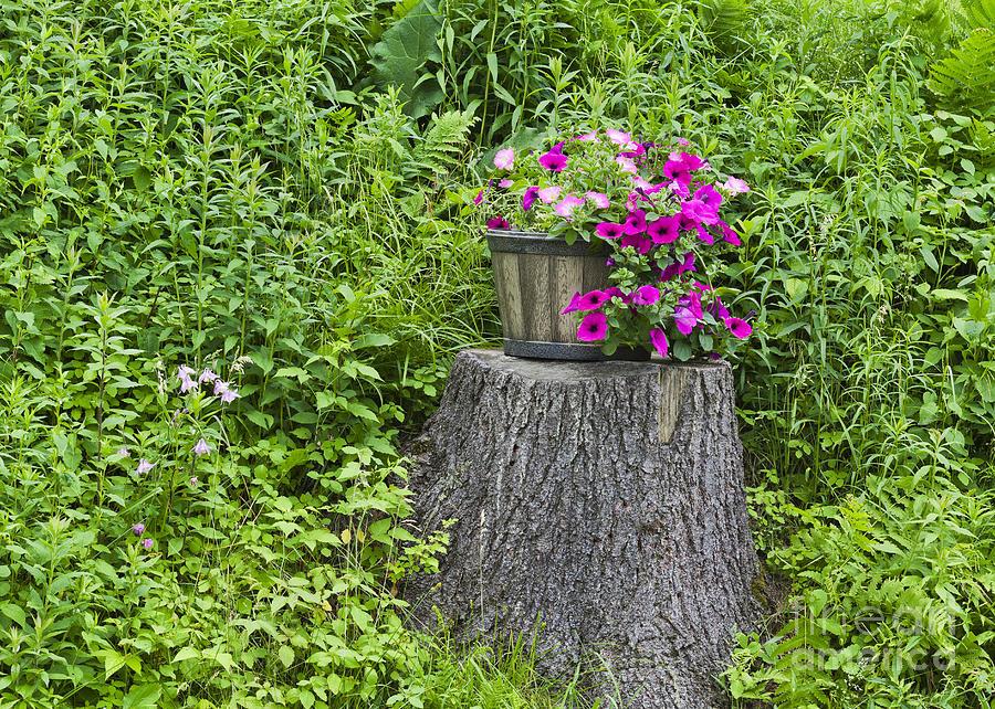 Petunia Planter Photograph
