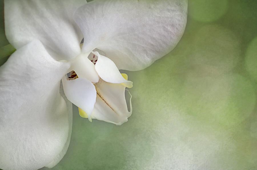 Phalaenopsis Face by Carol Erikson