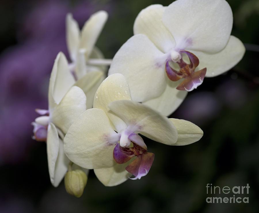 Phalaenopsis Ming Chao Dancer   8585 Photograph by Terri Winkler