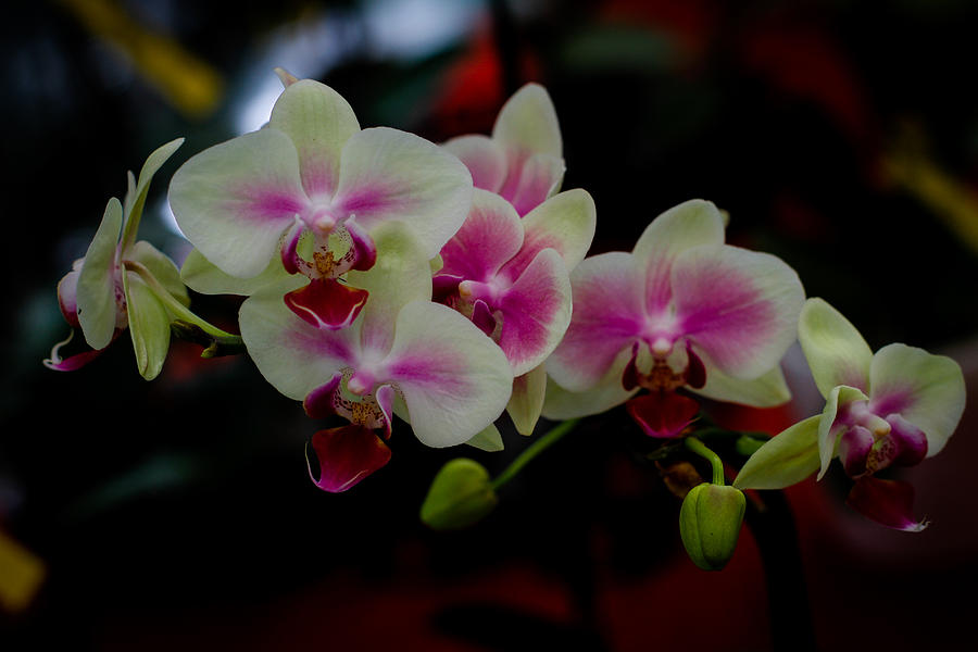 Phalaenopsis Pink Orchid Photograph by Donald Chen