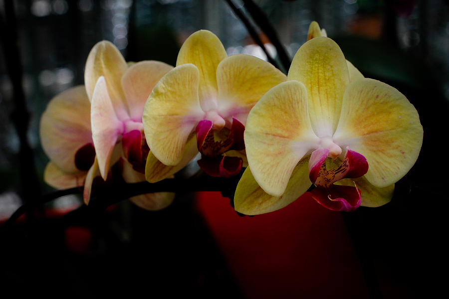 Phalaenopsis Yellow Orchid Photograph by Donald Chen