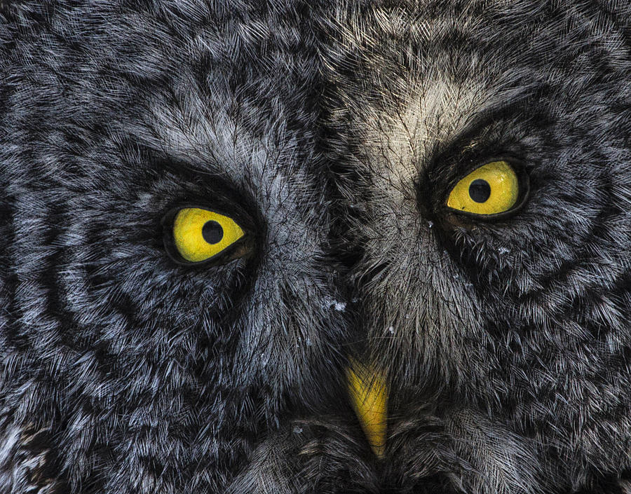 Owl Photograph - Phantom Of The North 2 by Gary Hall
