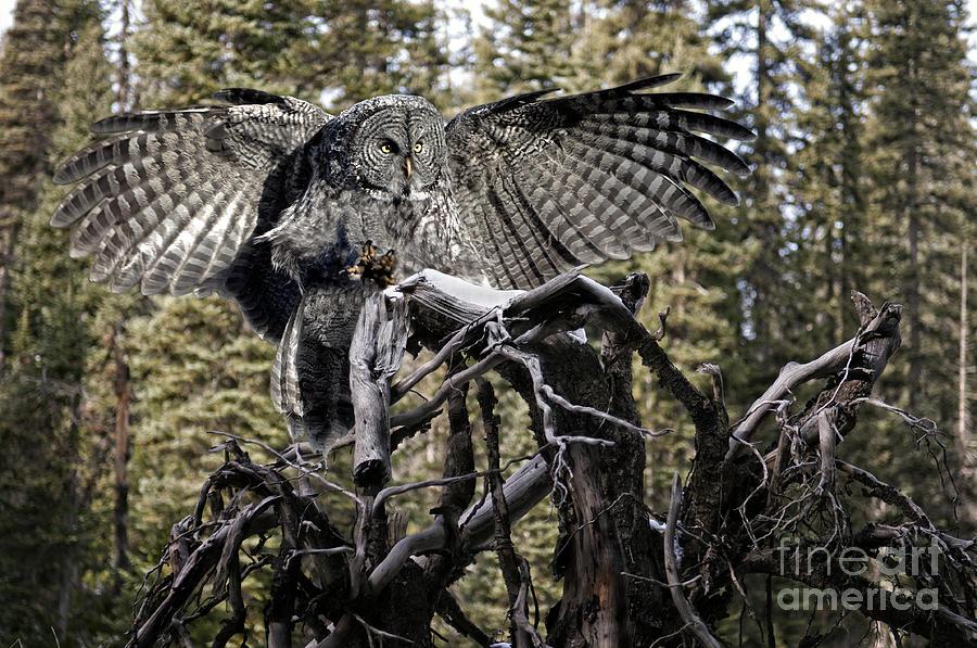 Great Grey Owl Photograph - Phantom Of The North by Wildlife Fine Art