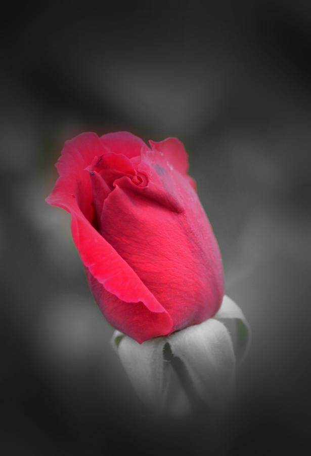Rose Photograph - Phantom Rose by Maria Urso