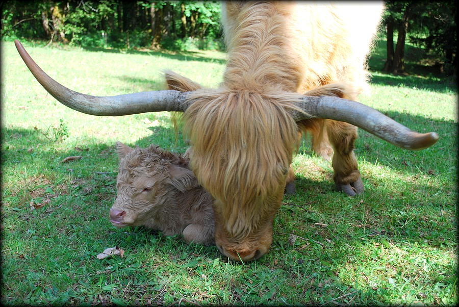 Cow Photograph - Pheona And Buffie by Kathy Sampson