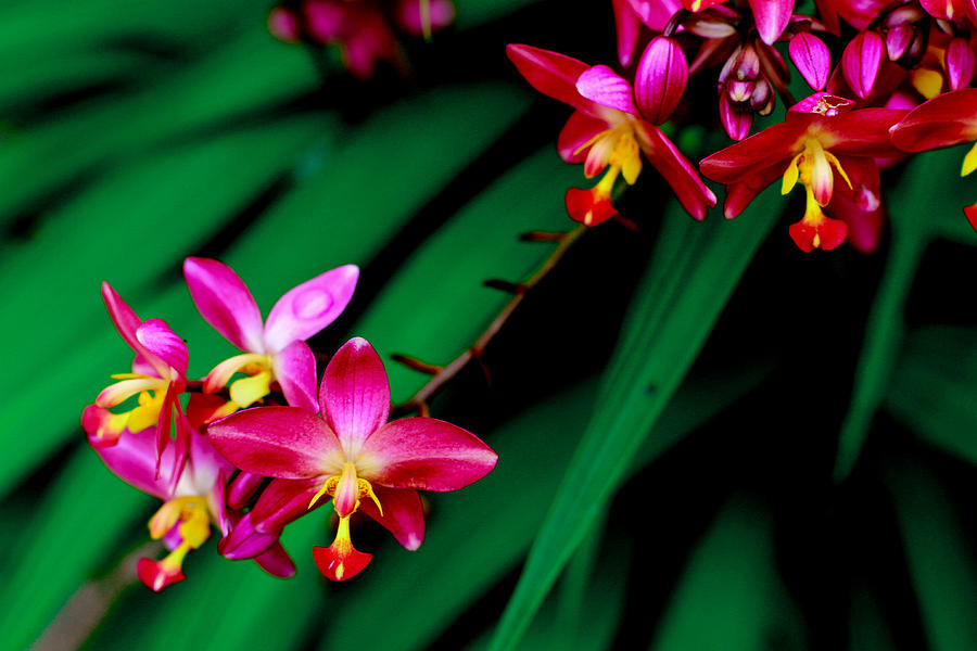Spathoglottis Plicata Photograph - Philippine Ground Orchid by Donald Chen