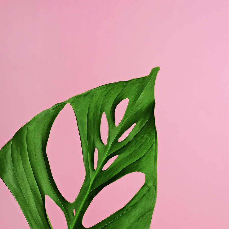 Sparse Photograph - Philodendron Leaf On Pink by Juj Winn