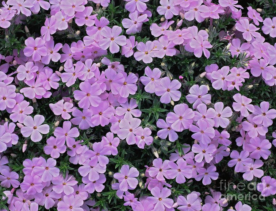 Pink Flowers Photograph - Phlox Douglasii eva by Geoff Kidd