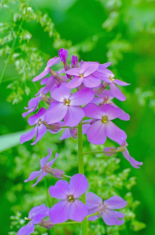 Wildflower Photograph - Phloxy by David Tennis
