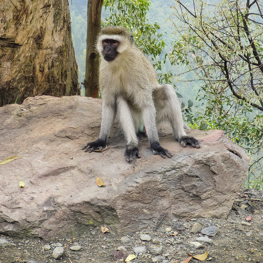 Rwanda Photograph - Photogenic Monkey by Paul Weaver